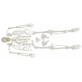 I-Disarticulated Skeleton ne-Skull
